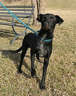 Terrier (Unknown Type, Medium)/Labrador Retriever Mix Dog for adoption in Trenton, Missouri - Pal