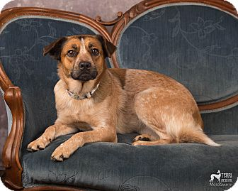 Cattle Dog/Beagle Mix Dog for adoption in Salem, Oregon - Beta