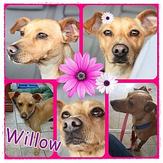 Chihuahua Dog for adoption in St. Charles, Missouri - Willow