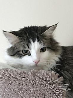 Domestic Mediumhair Cat for adoption in Romeoville, Illinois - Stitch