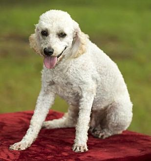 Poodle (Miniature) Dog for adoption in Santa Fe, Texas - Winston--handsome little man-N PLEASE HELP