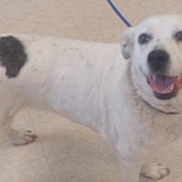 Adopt A Pet :: Belle - Huntley, IL