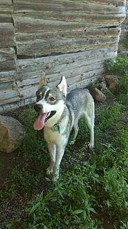 Siberian Husky Mix Puppy for adoption in Tweed, Ontario - Gunner