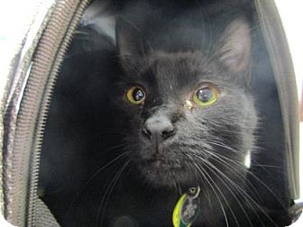 Domestic Shorthair/Domestic Shorthair Mix Cat for adoption in Irving, Texas - Muddy