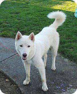 Husky Puppy for adoption in Spanaway, Washington - Kai