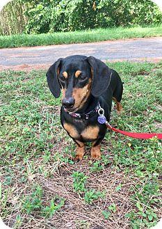 Dachshund Mix Dog for adoption in Boca Raton, Florida - Zeus