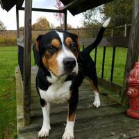 Adopt A Pet :: McNugget - Ashtabula, OH