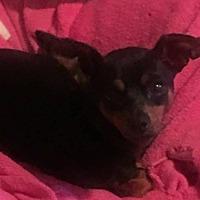 Adopt A Pet :: Trixie - Lewistown, PA
