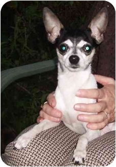 Toy Fox Terrier Dog for adoption in Battleground, Indiana - Freida(fc)