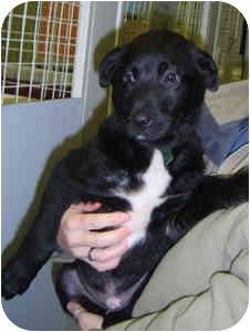 Labrador Retriever Mix Puppy for adoption in Elliot Lake, Ontario - Archie