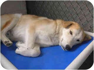 Husky Mix Dog for adoption in Broomfield, Colorado - Aspen
