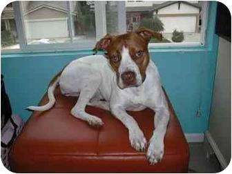 Pointer Mix Dog for adoption in Sacramento, California - Cali