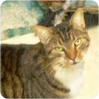 Domestic Shorthair Cat for adoption in Putnam Valley, New York - Brett