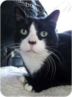 Domestic Shorthair Cat for adoption in Merrifield, Virginia - Enzo