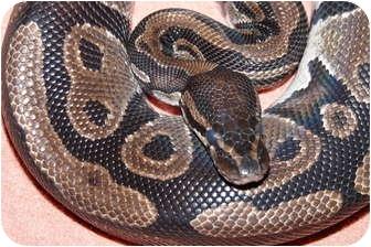 Snake for adoption in Richmond, British Columbia - Cuervo