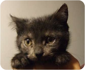 Domestic Shorthair Kitten for adoption in Rahway, New Jersey - Onyx- Just weeks old!