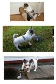 Australian Shepherd/Chihuahua Mix Puppy for adoption in Bellingham, Washington - Barney