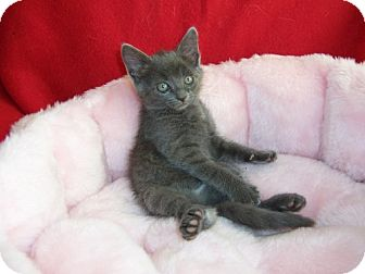 Russian Blue Kitten for adoption in Taylor Mill, Kentucky - Austin-DECLAWED 5 MONTH OLD