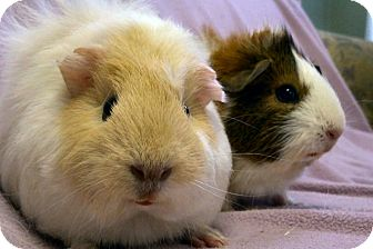 Guinea Pig for adoption in Lewisville, Texas - Dulce and Leche
