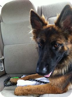 German Shepherd Dog Puppy for adoption in Dripping Springs, Texas - Shayna