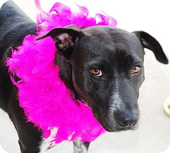 American Pit Bull Terrier Mix Dog for adoption in White Settlement, Texas - Dolly-adoption pending