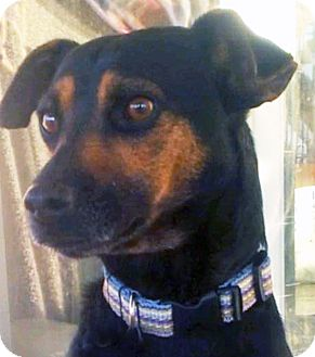 Manchester Terrier/Miniature Pinscher Mix Dog for adoption in Poway, California - Chucky Cheese