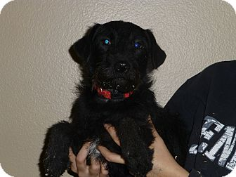 Poodle (Miniature)/Schnauzer (Standard) Mix Dog for adoption in Oviedo, Florida - Andy
