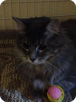 Domestic Longhair Cat for adoption in Edwardsville, Illinois - Ariel