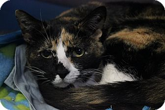 Calico Cat for adoption in Voorhees, New Jersey - Kelly-declawed