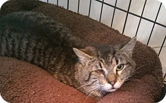 Domestic Shorthair Cat for adoption in Parkton, North Carolina - Willie