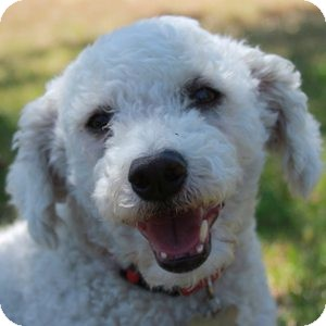 Bichon Frise Mix Dog for adoption in La Costa, California - Bijou