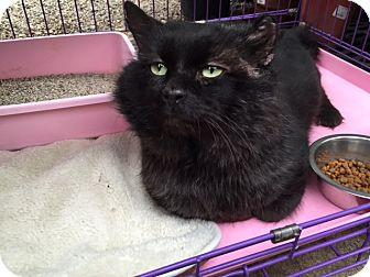 Domestic Longhair Cat for adoption in Bedford, Massachusetts - Gardiner