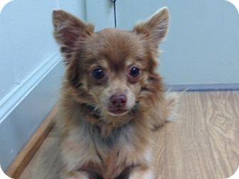 Pomeranian/Chihuahua Mix Dog for adoption in Hampton, Virginia - bear