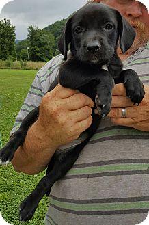 Retriever (Unknown Type) Mix Puppy for adoption in Burlington, Vermont - Ella