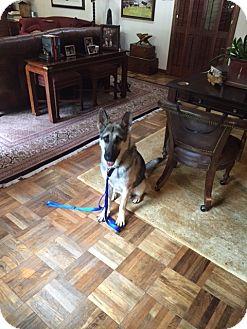 German Shepherd Dog Mix Dog for adoption in Houston, Texas - Tango