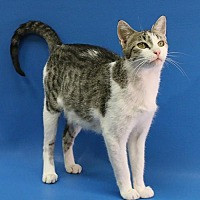 Domestic Shorthair Cat for adoption in Overland Park, Kansas - Serena
