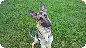 German Shepherd Dog Puppy for adoption in Houston, Texas - Angelique