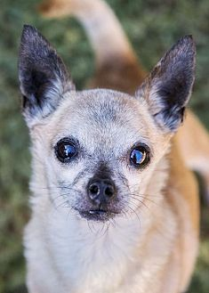 Chihuahua Mix Dog for adoption in El Cajon, California - Duke
