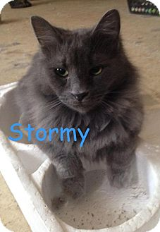 Maine Coon Cat for adoption in Washington, D.C. - Stormy