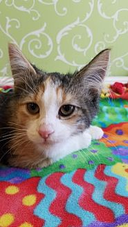 Domestic Mediumhair Kitten for adoption in Red Wing, Minnesota - Effie Trinket