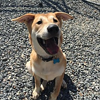 Adopt A Pet :: Nikki - Charlotte, NC