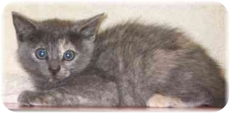 Calico Kitten for adoption in Naples, Florida - Audrey