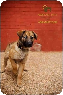 Shepherd (Unknown Type)/Labrador Retriever Mix Puppy for adoption in Nashville, Tennessee - Lincoln
