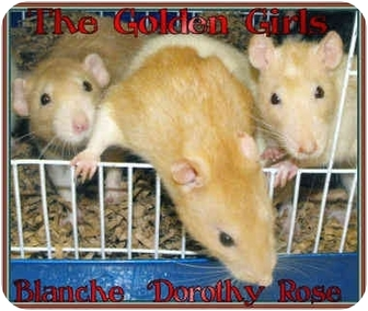 Rat for adoption in Las Vegas, Nevada - The Golden Girls