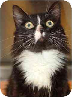 Maine Coon Cat for adoption in Davis, California - Nancy