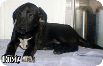 Retriever (Unknown Type) Mix Puppy for adoption in Georgetown, South Carolina - Rusty
