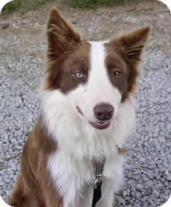 Border Collie Dog for adoption in Oliver Springs, Tennessee - Fleet