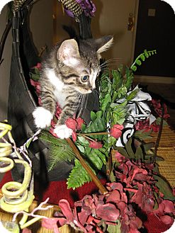 Domestic Shorthair Kitten for adoption in Clearfield, Utah - Excalibur