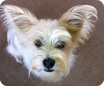 Yorkie, Yorkshire Terrier Mix Dog for adoption in McDonough, Georgia - Skittles