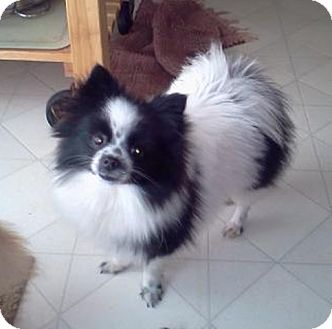 Pomeranian Dog for adoption in Conesus, New York - Gabby